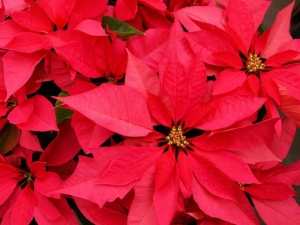 photo poinsettas