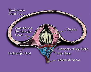 Vestibular_systems_semicircular_canal